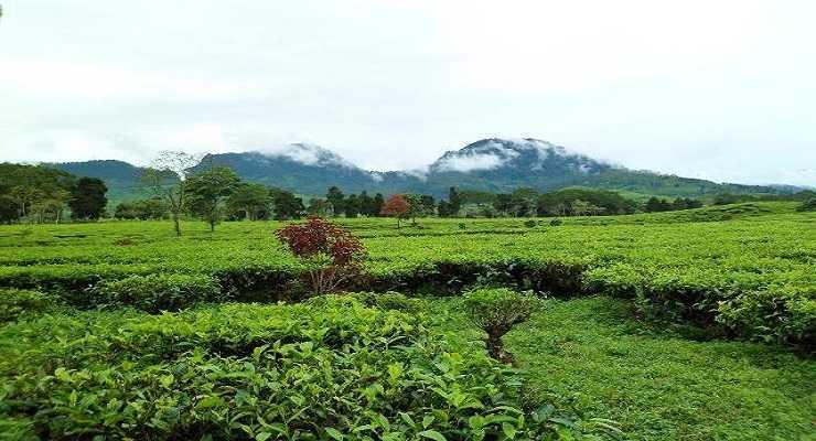 Kebun Teh Malabar Pangalengan Bandung