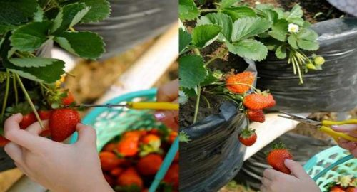 Petik Strawberry Happy Farm Lembang