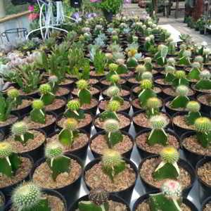 Tanaman Hias Grace Rose Farm Lembang Bandung