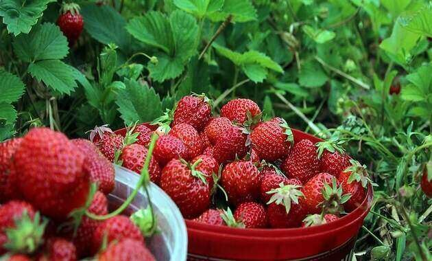 wisata_petik_strawberry_di_situ_cileunca_pangalengan_bandung