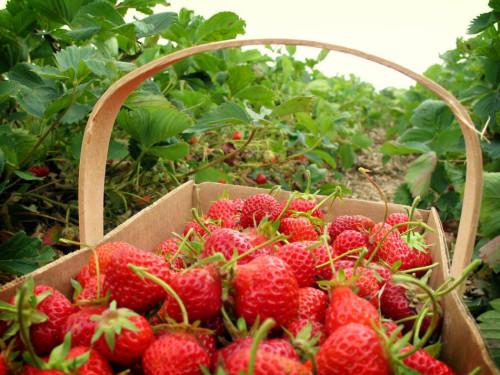 Harga Tiket Masuk Kebun Strawberry Lembang Bandung