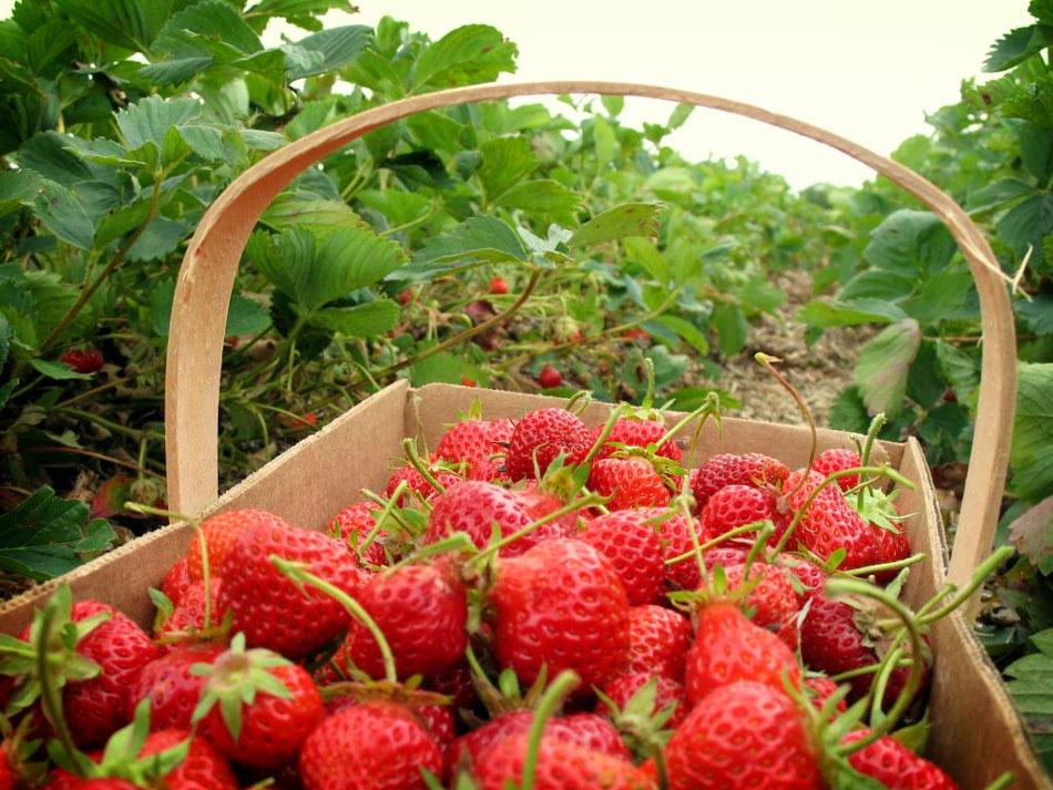 Kebun Strawberry Ciwidey - Peta Lokasi & Harga Tiket Masuk