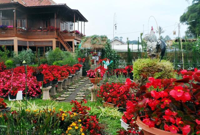 Taman Begonia Lembang - Bandung Lautan Bunga